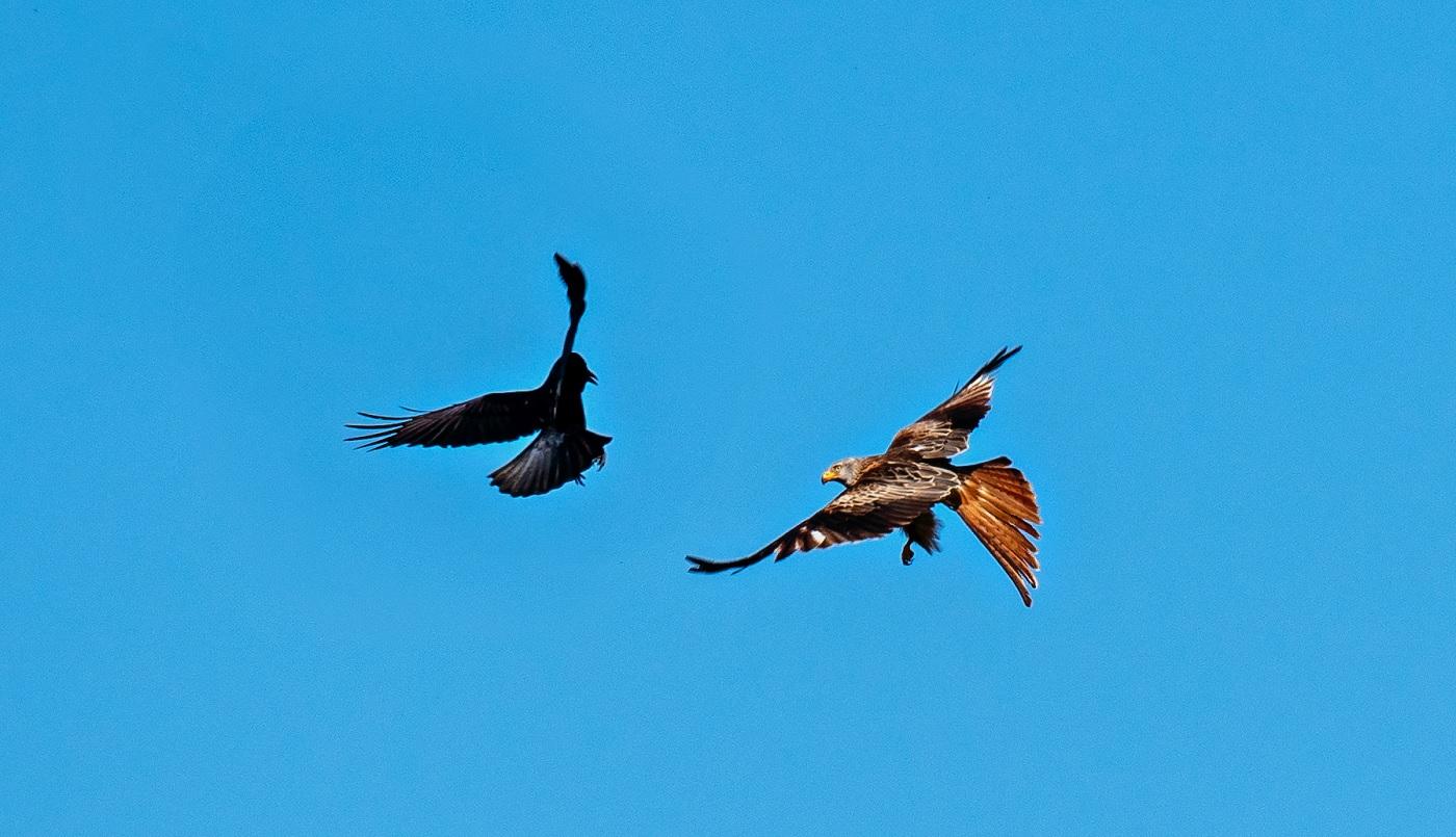 Ein Rotmilan im Kampf mit einer Krähe